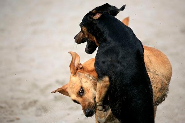 """Hunde von Nachbarn sollen zu """"Trainingszwecken"""" für die Hundekämpfe gestohlen worden sein."""