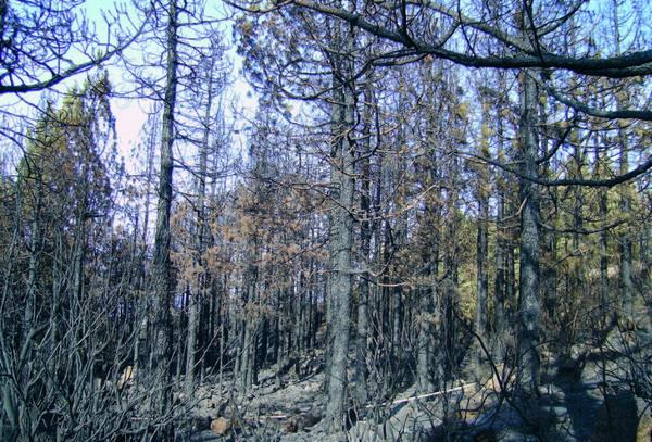Im August 2007 konnte man sich nicht vorstellen, dass aus diesen schwarz verkohlten Stämmen jemals wieder Leben sprießen würde