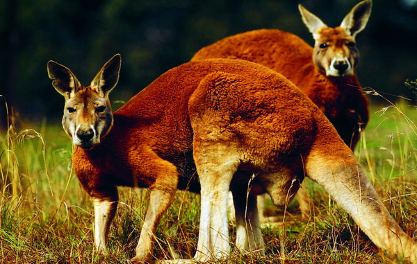 Ein Riesenkänguru kann bis zu 13,5 Meter weit und 3,3 Meter hoch springen