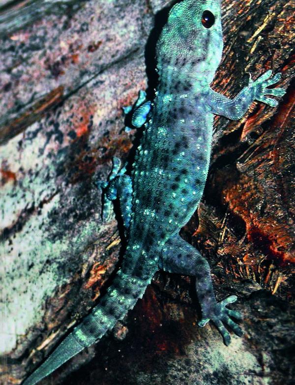 Geckos gelten auf den Kanaren als Glücksbringer, die einen Geldsegen versprechen. Also nicht vertreiben!