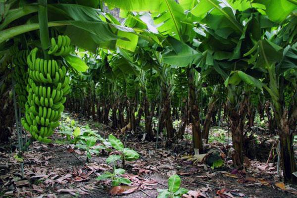 Ökologischer Bananenanbau auf El Hierro