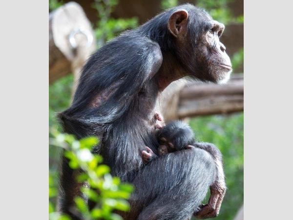 Vorsichtig beäugt Schimpansenbaby Happy die Welt um sich herum.