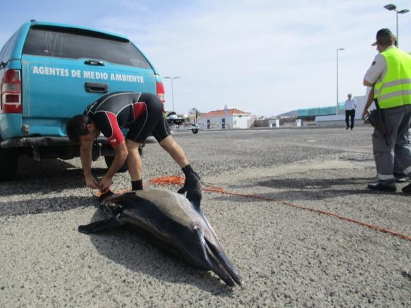 Die toten Delfine wurden von Mitarbeitern des Umweltschutzamtes geborgen und anschließend zur Obduktion nach La Oliva gebracht.