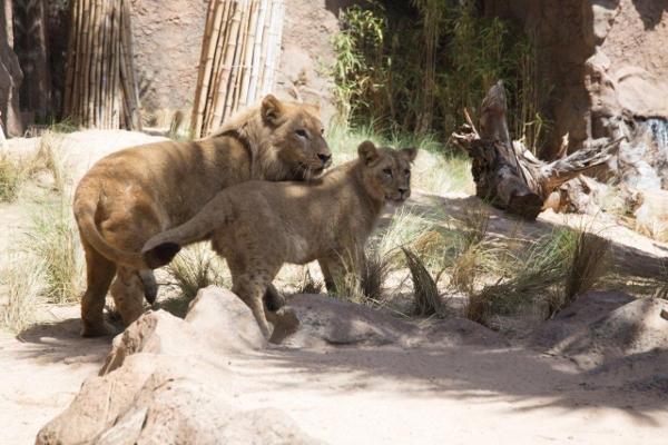 Namen wurden den beiden Löwinnen von Fans des Loro Parques im Rahmen eines Wettbewerbs gegeben. Sie werden ebenfalls am Donnerstag bekannt gegeben.