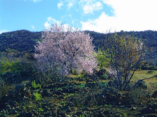 Mandelblütenpracht