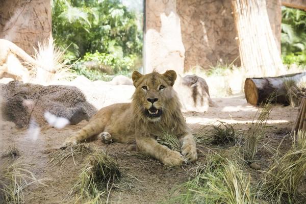 Löwe Simba feiert am 15. August seinen zweiten Geburtstag.