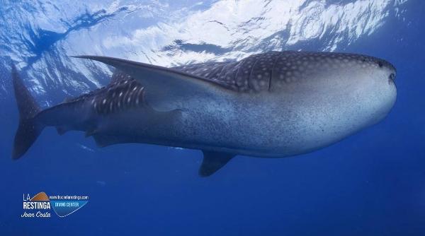 Ein Archivfoto von einem Walhai, aber deshalb nicht minder beeindruckend.