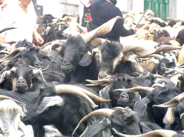 Ziegen sind das am meisten verbreitete Nutztier der Kanaren