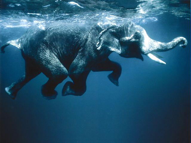 Kaum zu glauben, aber wahr: Elefanten können schwimmen