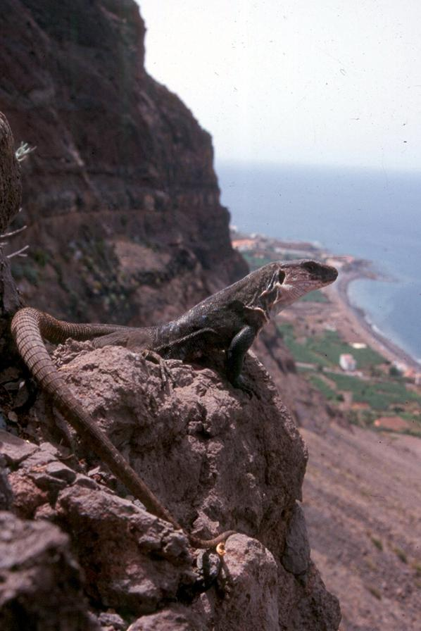 Reptilandia have helped bring back the Giant Gomeran lizard from the brink of extinction