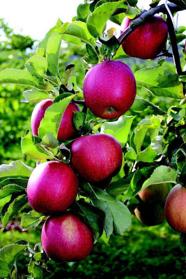 Der Apfel hat sich als wirksamer Verbündeter im Kampf gegen die Hautalterung erwiesen