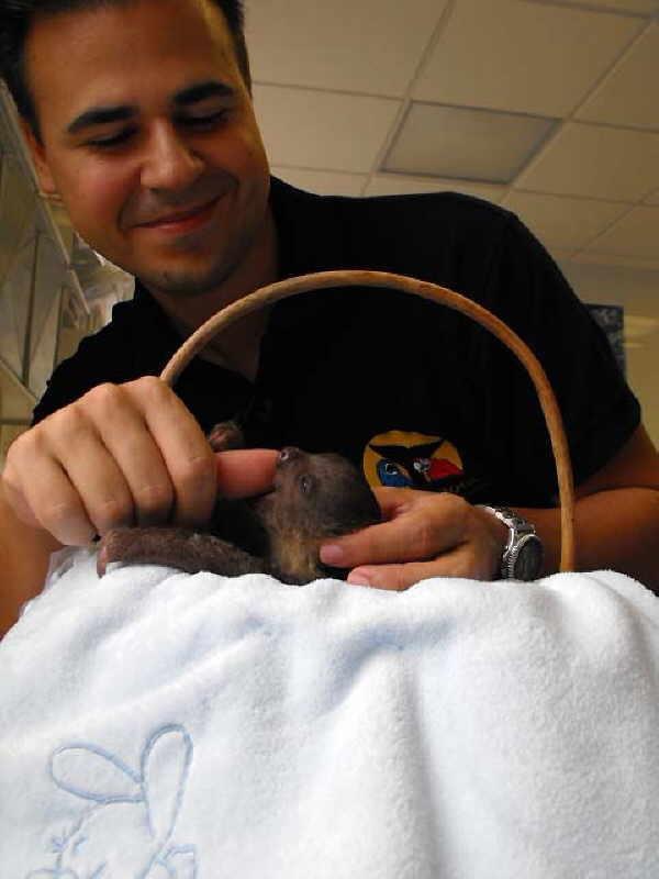 Selbst für den erfahrenen Loro Parque Biologen Rafael sind die Faultierbabys eine Besonderheit, die er sofort ins Herz geschlossen hat.