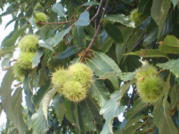 Die stacheligen Wildfrüchte sind das Geheimnis des kanarischen Herbstgeschmacks…