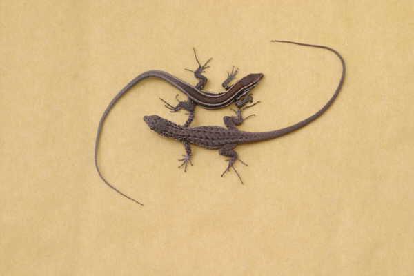 Ein Nachwuchsexemplar der Lagarto Gigante im Größenvergleich zu einer Lagartija, einer Blindschleichen ähnlichen kanarischen Reptilienart.