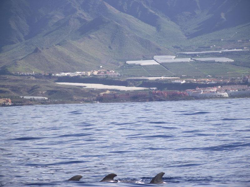 Wale vor Teneriffas Südwestküste