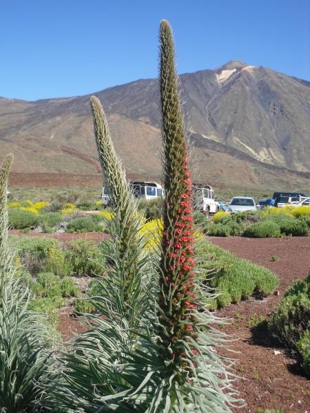 Tajinaste Rojo Hintergrund Teide