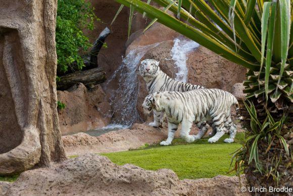 Die neueste Attraktion: zwei weiße Tiger.