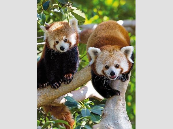 Die beiden roten Pandabärendamen des Loro Parque sind gar zu hübsch. Sie zählen zu den Publikumslieblingen.