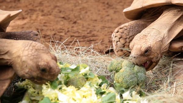 Auch die Schildkröten freuen sich über ihr leckeres Essen aus dem Eigenanbau.