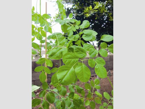 Moringa, der Meerrettichbaum.