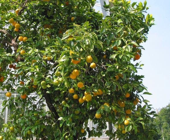 Aus den leckeren kanarischen Orangen lässt sich ein guter Orangenwein zaubern.
